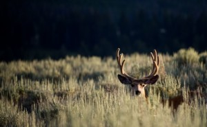 mule_deer_sagebrush