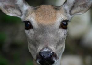 deer_eyes